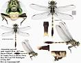Arigomphus maxwelli  male #4(Bayou Clubtail)