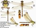 Erpetogomphus designatus  female #2 (Eastern Ringtail)