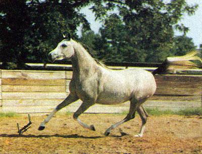AA-LALIQUE (*Ellorus x *Pierzga, by Negatiw) 1978 grey mare