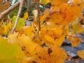 Beech Leaves in the Wind