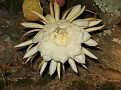 Twelve O'clock at night when we got home...  A shot of a Nightblooming Cereus.  They only last one night!!!