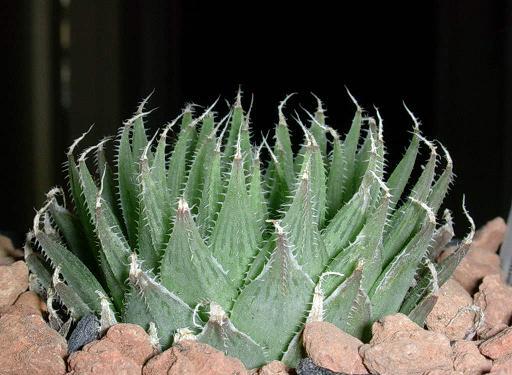 Haworthia isabellae