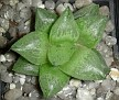 Haworthia hybrid comptoniana Georgida X maculata Brandvlei