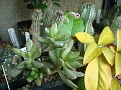 Adromischus umbracticola v  ramosus