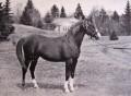 GULASTRA #521 (*Astraled x Gulnare, by *Rodan) 1924 chestnut stallion bred by WR Brown/ Maynesboro Arabian Farm; sired 126 registered purebreds
