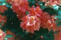 Red Rhoda