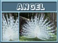 angel-gailz0304-albino peacock.jpg