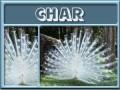 char-gailz0304-albino peacock.jpg