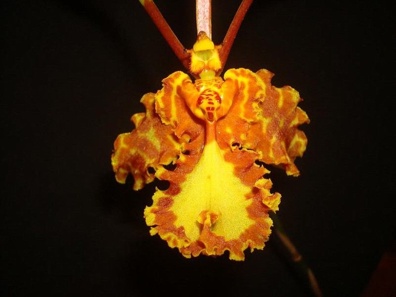 Psychopsis mariposa 'Green Valley' (18)