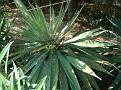Agave sp 10 2009 Glifada