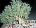 Trichodiadema bulbosum