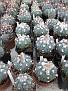 0042 Echinocactus horizontalonius