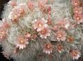 Mammillaria bocasana v. splendens