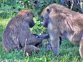 Baboons010