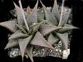 Haworthia limifolia v. arcena Hectorspruit