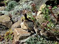 048. Tufted duck ,Aythya-fuligula