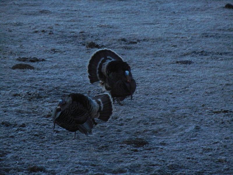 Showdown in Cattle Pasture 40612
