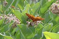 Great Spangled Fritillary and Meadowhawk #3