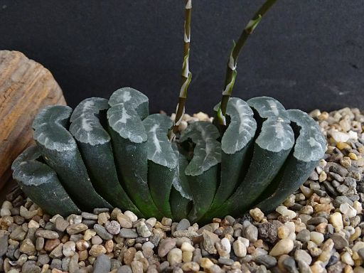 Haworthia 'Misty'