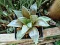 Haworthia truncata x cymbiformis