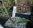 Manfreda maculosa Penon Blanco, Dura