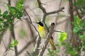 Yellowthroat #3
