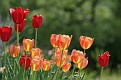 Patch of Tulips
