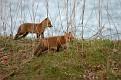 Red Fox Series #5