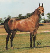 ARMAGNAC #260884 (*Aladdinn x Grenedyne, by *Bask++) 1982 bay stallion bred by Lasma Arabians; exported to Brazil 1992