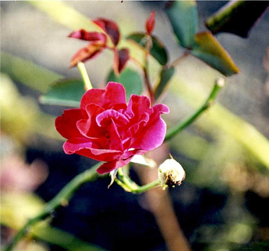 rose 10 04 03