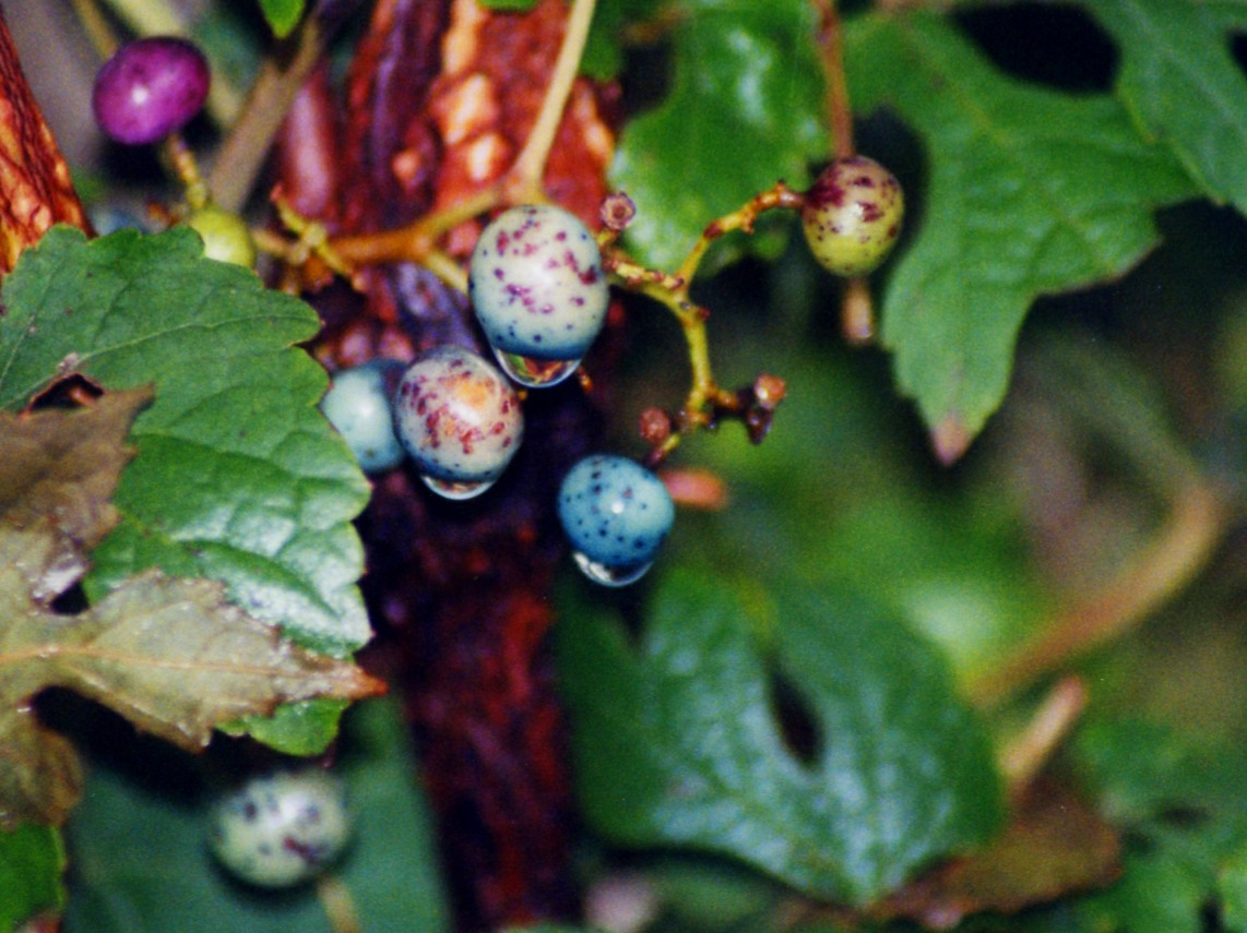 porcelain berries File0549