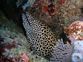 Honeycomb Eel
