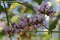 Pelargonium exstipulatum