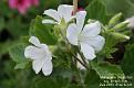 Pelargonium cucullatum ssp. strigifolium (white form)
