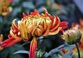 Chrysanthemum KF10