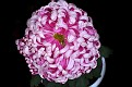 Chrysanthemum KF2