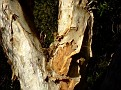 Parramatta Red Gum bark 002