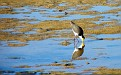 Plover in the Wynnum wading pool 003