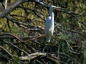 Great Egret near Walgett 002