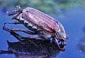 Майский жук Maybug DSC 1326 012 4 1