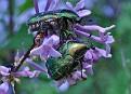 Бронзовка - жук Июньский The June beetle Flower chafers DSC 1499 081 41 1