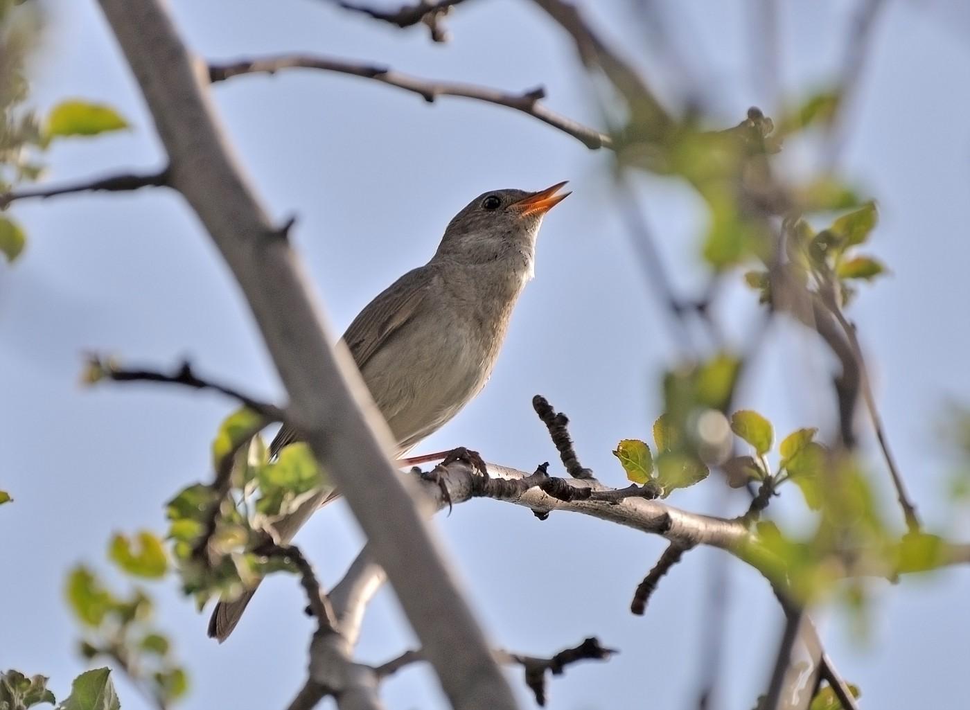соловей фото птицы когда поют много