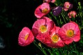 Маки Poppies DSC7105 3