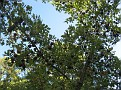 Andricus coriarius insect Quercus (5)