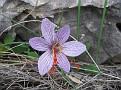 Crocus cartwrightianus (1)