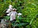 Orchis lactea (15)-001