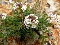Aethionema saxatile ssp  graecum (2)