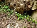 Aethorhiza bulbosa