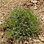 Ptilostemon chamaepeuce subsp  cyprius endemic (2)