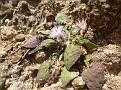Centaurea aegialophila akamas (9)